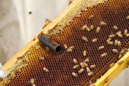 hatched queen cell with protective tube