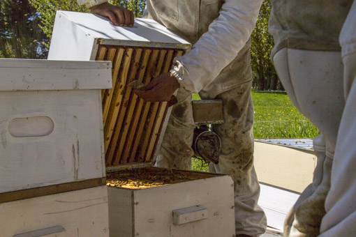 opening the hive and looking under the top box for swarm cells