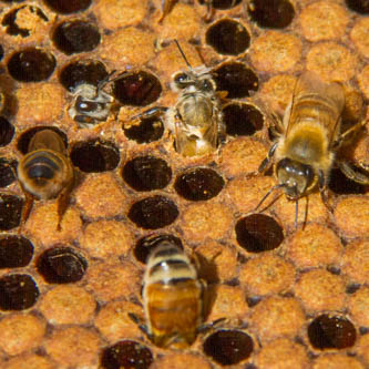 bees chewing their way out of their cells