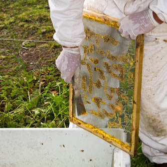 using a hive tool to carefully scrape wax off the metal queen excluder