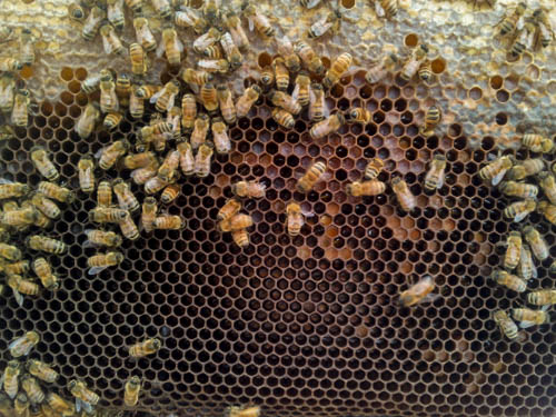 pollen peing placed in old brood comb