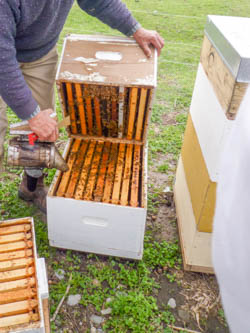 opening hive for spring inspection