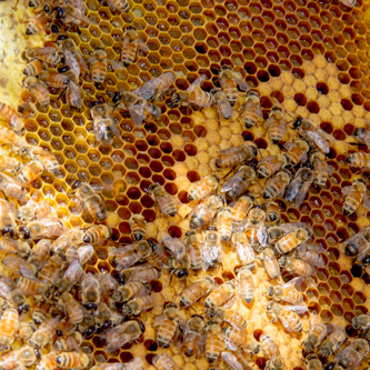 drones, pollen and honey being stored in brood box and little worker brood