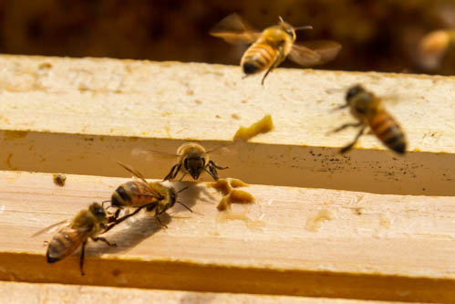 close up of bees fighting and robbing