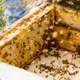 flying bees landing in great numbers in a honey box that has just been places