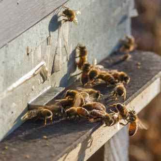 bees defending their hive entrance