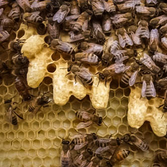 swarm queen cells in the hive